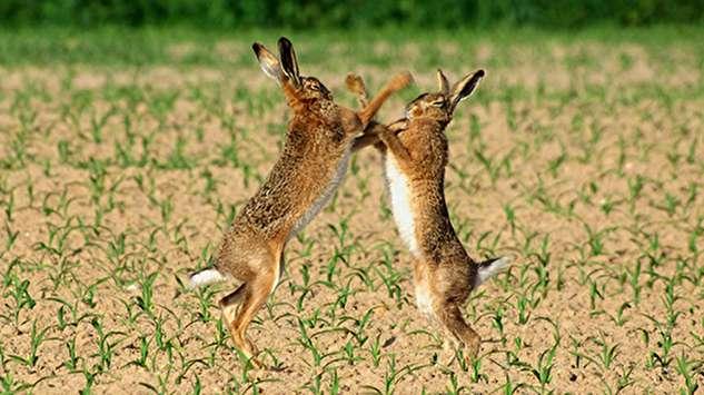 کتک کاری شدید دو خرگوش!
