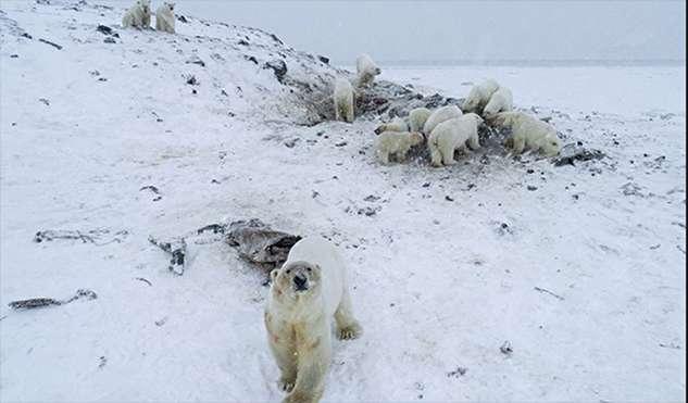 (ویدئو) هجوم ۵۶ خرس به یک روستا