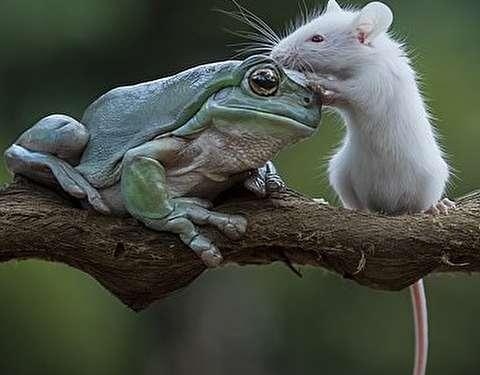 (تصاویر) قورباغه موش را نخورد و با آن دوست شد!