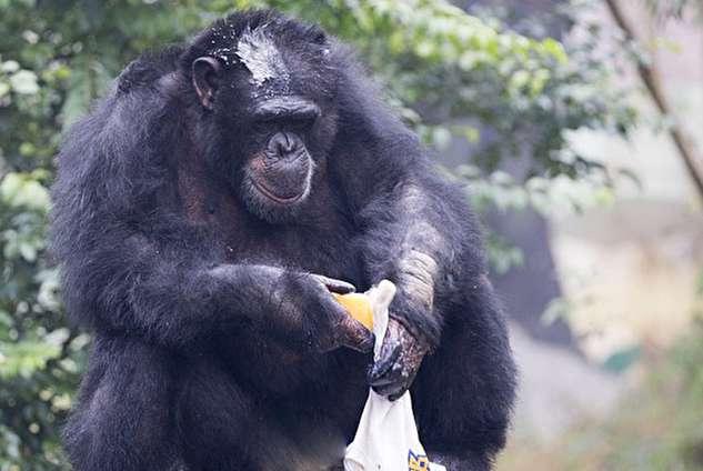 شامپانزهای که با علاقه لباس میشوید!