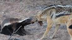 (تصاویر) درگیری گورکن عسلخوار با شغال بر سر شکار