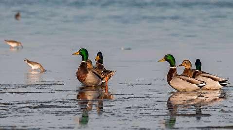 (تصاویر) پرندگان مهاجر در میانکاله