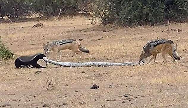 (ویدئو) نبرد حماسی بین مار پیتون، گورکن عسلخوار و دو شغال