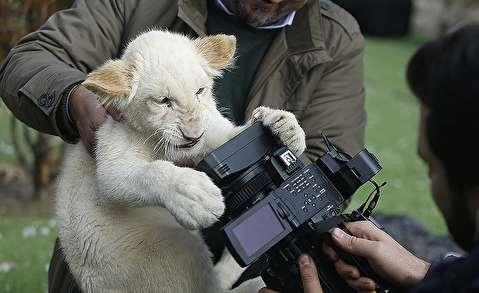 (تصاویر) ورود توله شیرهای سفید آفریقایی به ایران