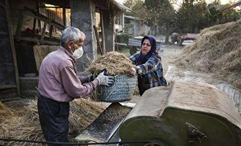(تصاویر) خرمنکوبی برنج به روش فراموش شده