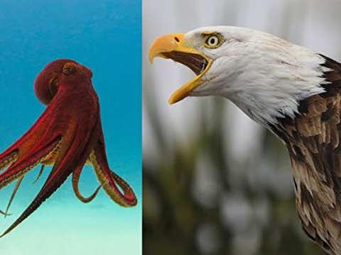 (ویدئو) صحنه عجیب شکار عقاب سرسفید توسط اختاپوس!