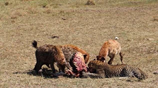 یک داستان جالب در حیات وحش؛ غافلگیری یوزپلنگ و کفتار!