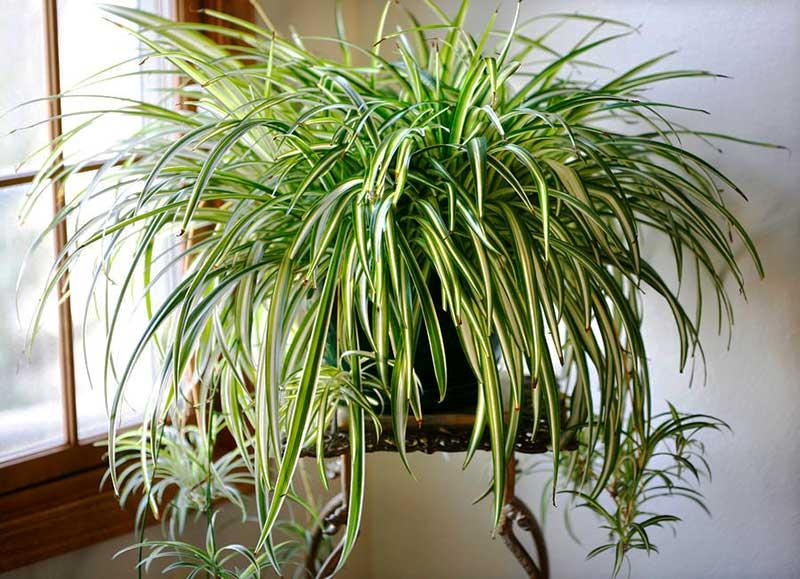 پرورش، تکثیر و نگهداری از گیاه گندمی یا عنکبوتی