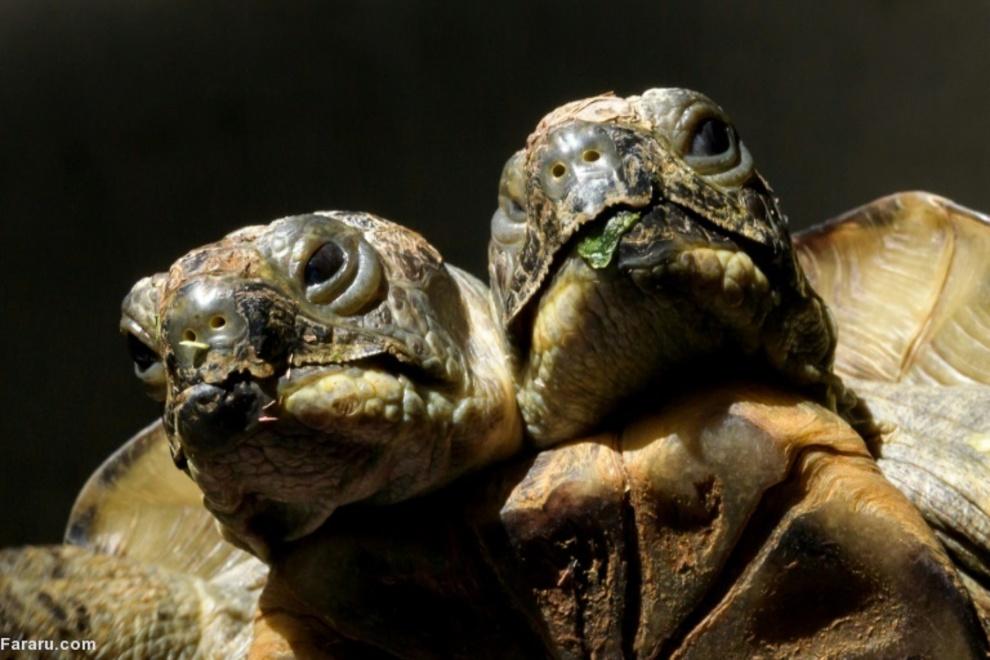 20 سالگی لاکپشت دو سر در موزه طبیعت ژنو