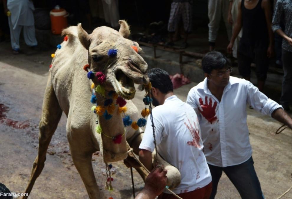 تلاش برای قربانی کردن شتر در کراچی