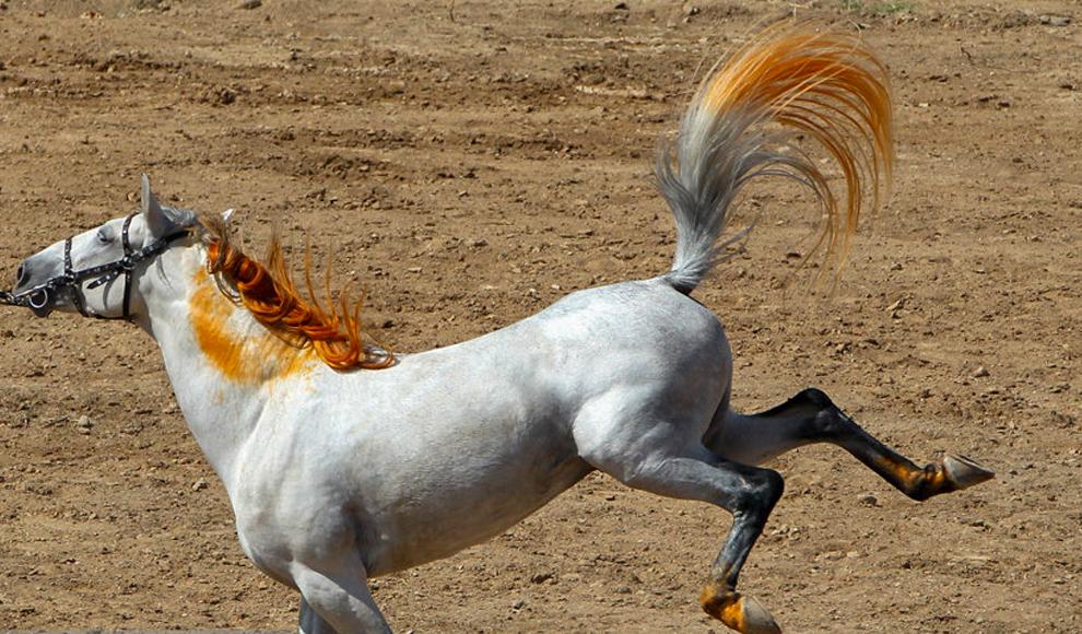 همایش سوارکاری و اسب زیبا در اراک. (ایسنا/ مجید نوری)
