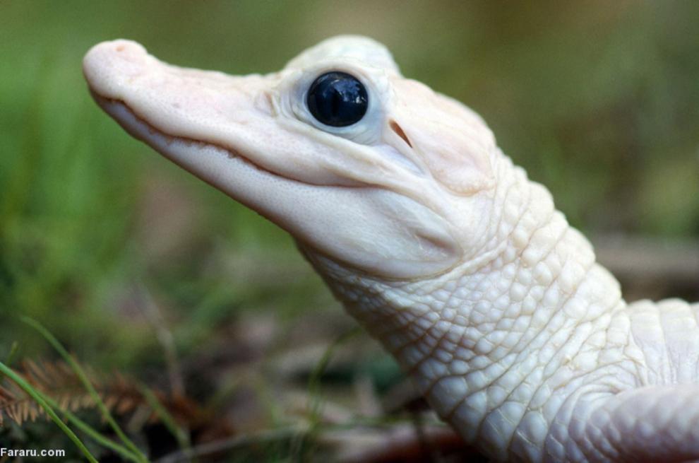 (تصاویر) نمونههای نادر حیوانات زال