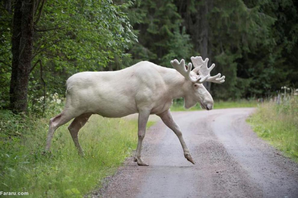 نوعی گوزن کمیاب سفید در سوئد