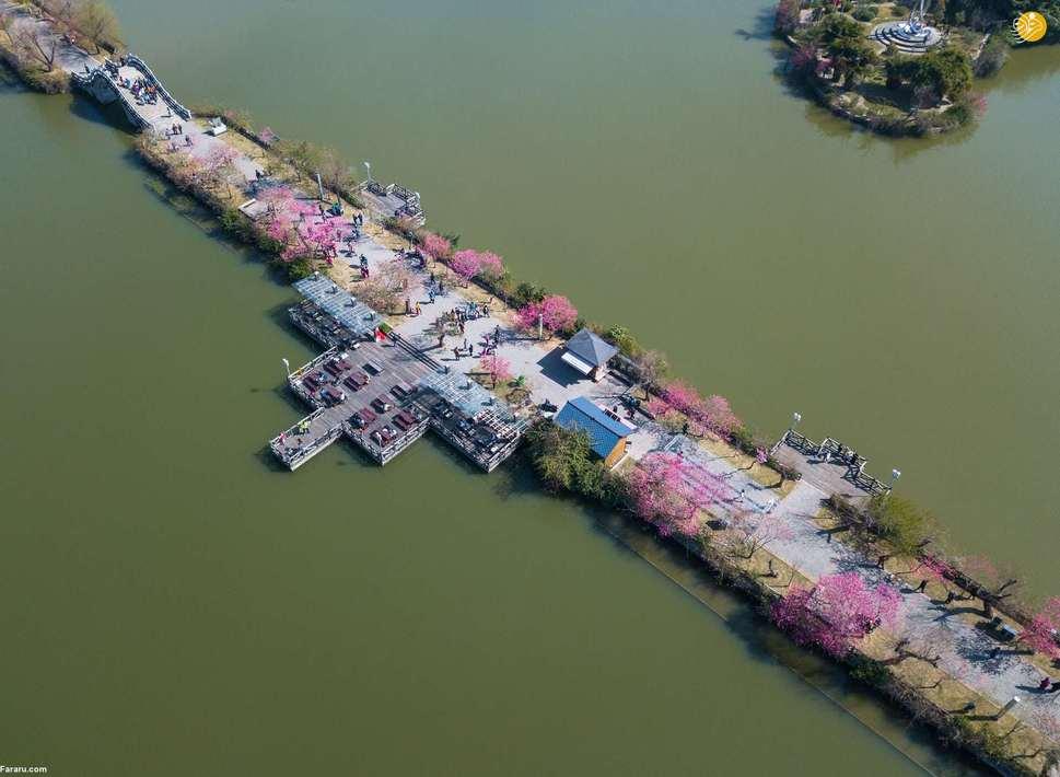 نقاشی روی درخت در شهر یینچوان، چین. (بارکرفت)