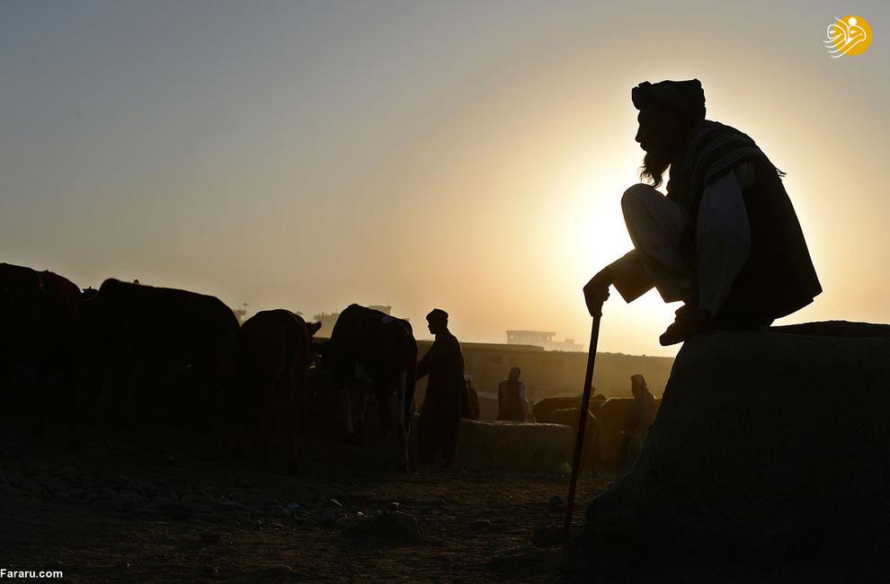 مرد افغان در روز عید قربان و در نزدیکی کابل منتظر مشتریانش است