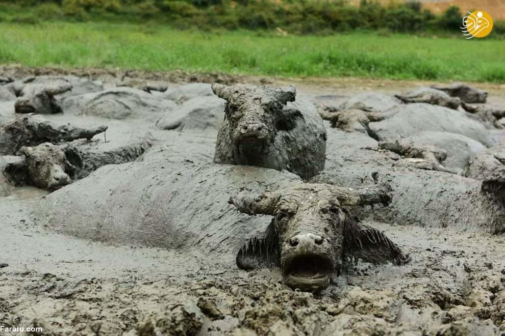 سگی در حال نجات توله سگ بعد از بالا آمدن آب رودخانه در اثر بارشهای شدید؛ هند