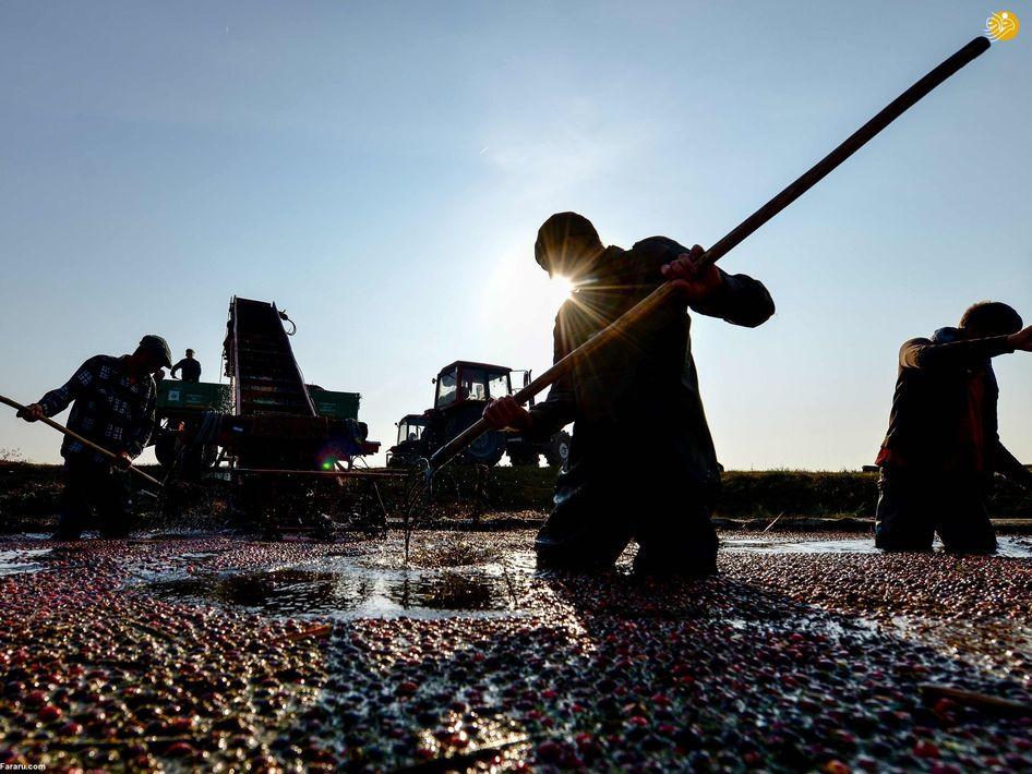 کشاورز پاکستانی در مزرعه نیشکر پیشاور